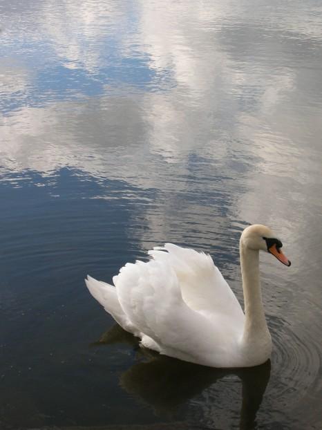 hirsel lake swan 3