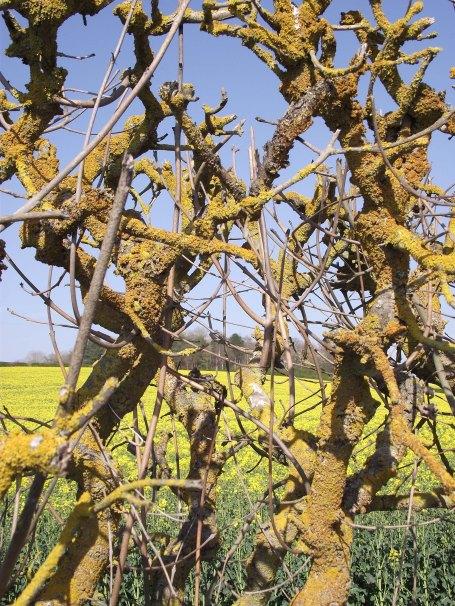 lichen hedge 3